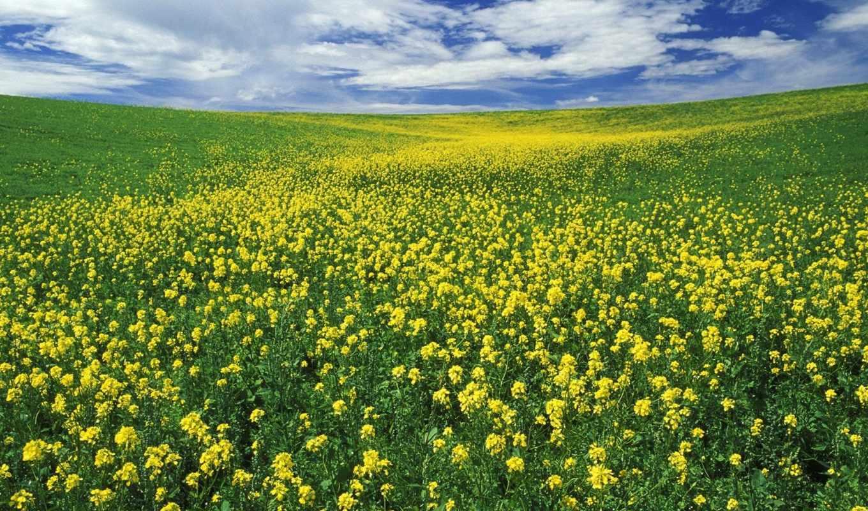 цветы, лето, природа, облака, нравится, луг, цветущий, field, mustard, fields, landscapes, трава, like, yellow, луга, pozemok, летние, красивые, vista,