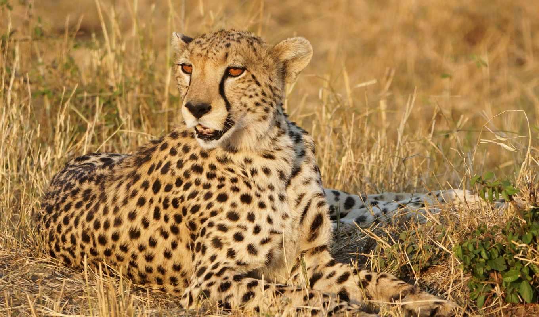 zhivotnye, трава, vzglyad, gepard, кошки, хищник, морда, дек,