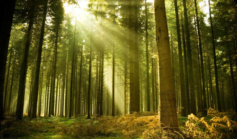 лес, хвойный, разных, разрешениях, пробиваются, пробивается, сквозь, лучи, ray, sveta,