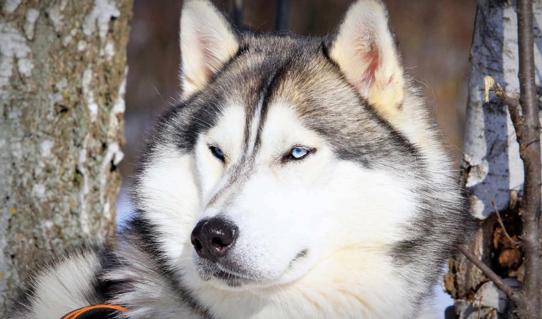 хаски, щенок, собаки, zhivotnye, щенки,