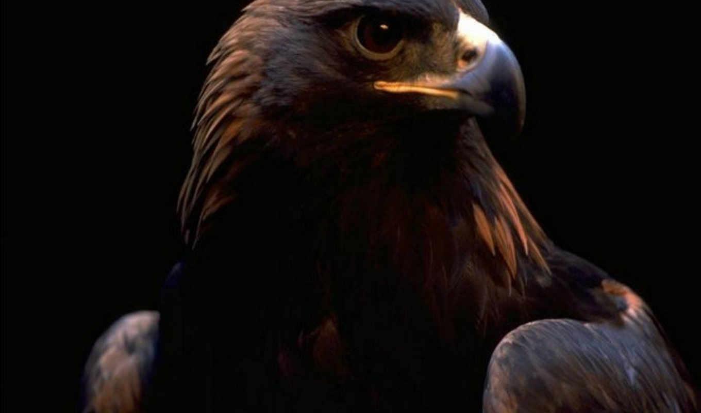 орлан, птицы, яndex, zhivotnye, коллекциях, птица, smartphone, birds, коллекция,