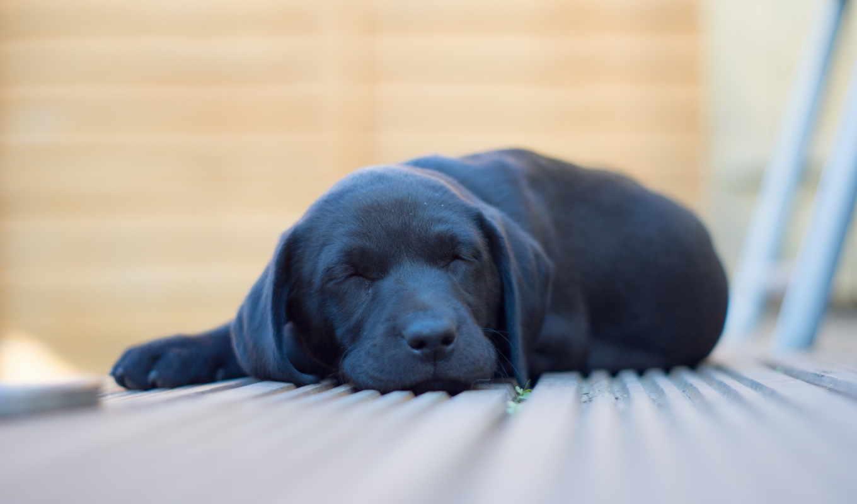 крепко, спит, разных, разрешениях, лабрадора, чёрного, марта, щенок, times,