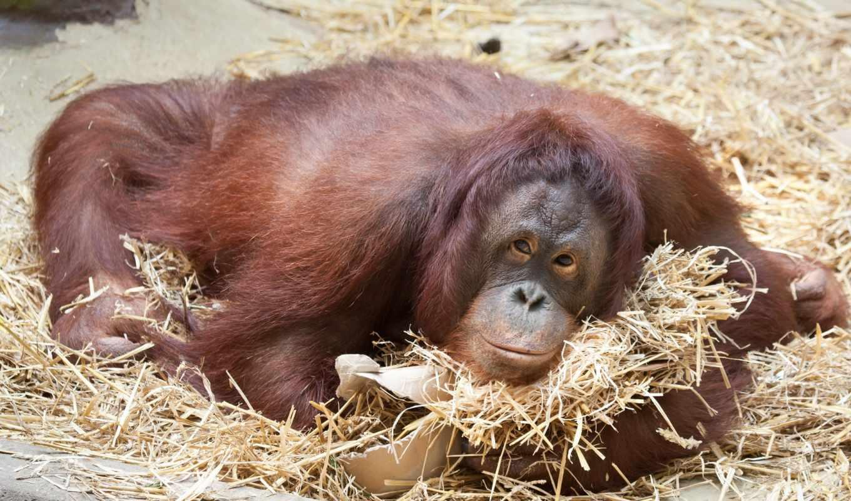 обезьяны, животные, desktop,