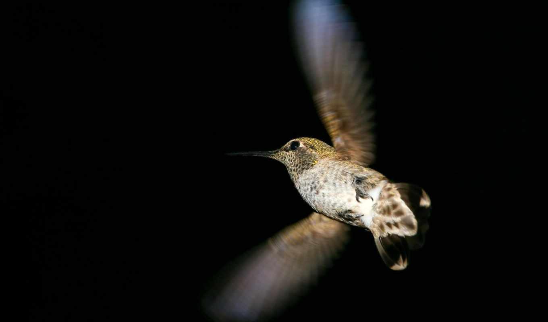 колибри, polet,