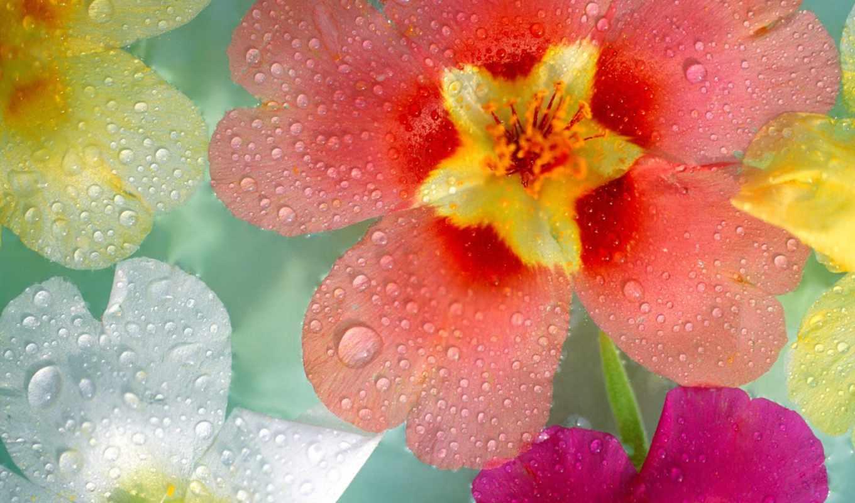 капли, cvety, разные, makro, rosa,