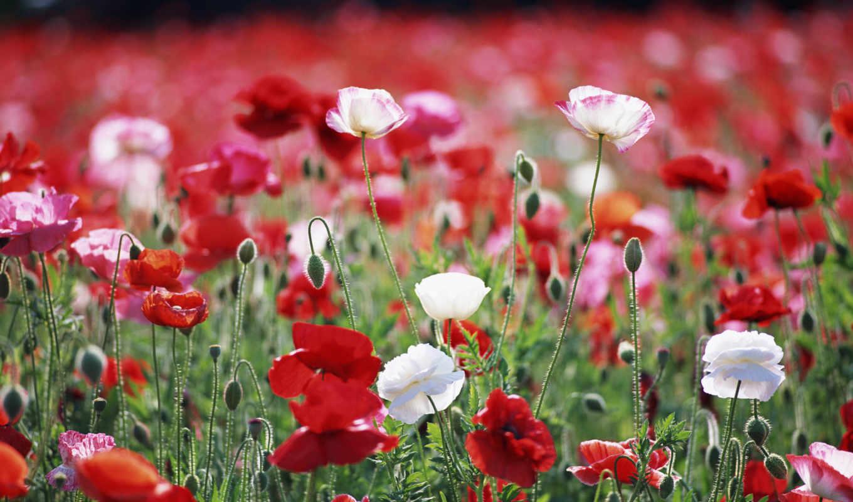 маки, цветы, поле, красные,