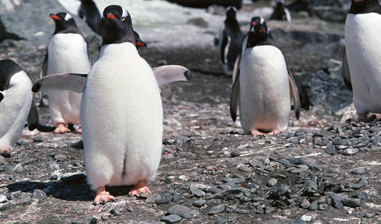 котики, пингвины, заставки, морские,