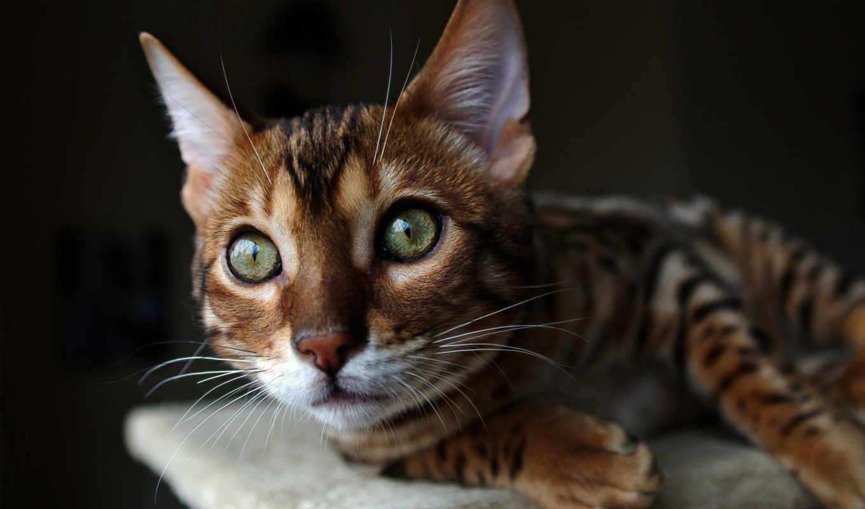 кот, морда, бенгальский, смотрит,