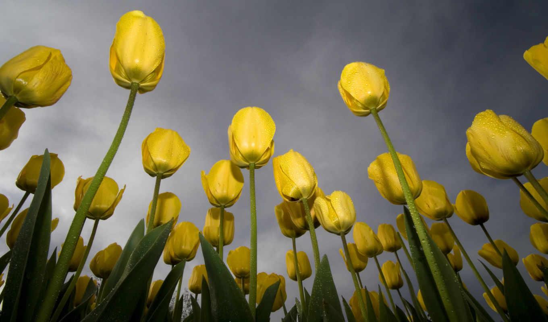 tulips, flowers, тюльпаны, yellow, free, небо, роса, зелёный, download, nature, желтые, background,