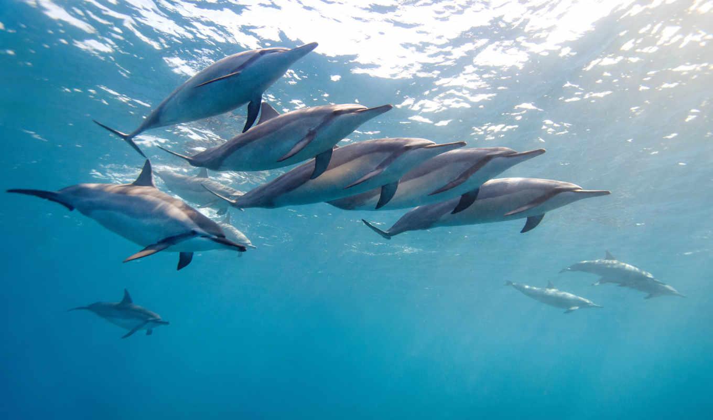 дельфины, водой, дельфин, под, вода, животные, стая,