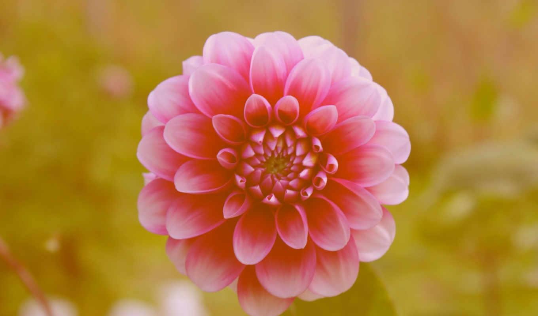 ,цинии, цветок, розовый,