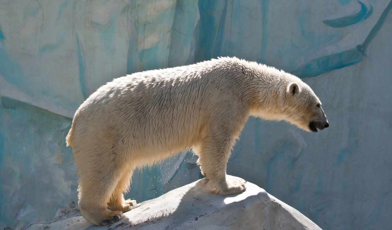 polar, медведь, bears, aston,
