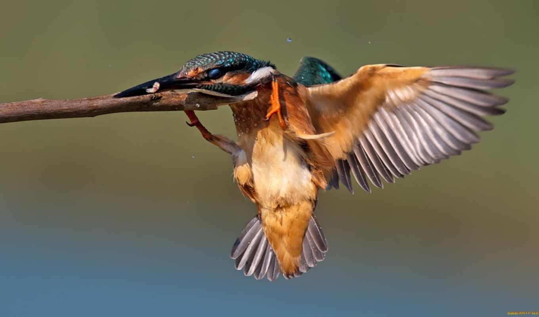 kingfisher, фон, desktop, animal, images, full, птица,