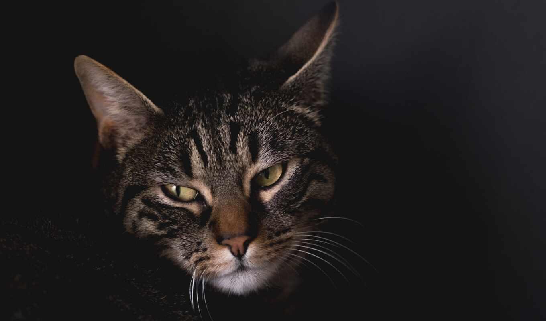 кот, line, voicetube, domestic, bite, short, порода