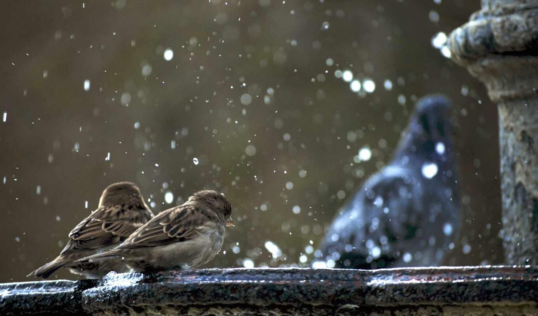 птица, воробей, воробей, winter, fountain, дождь, голубь, дерево, drop, makryi