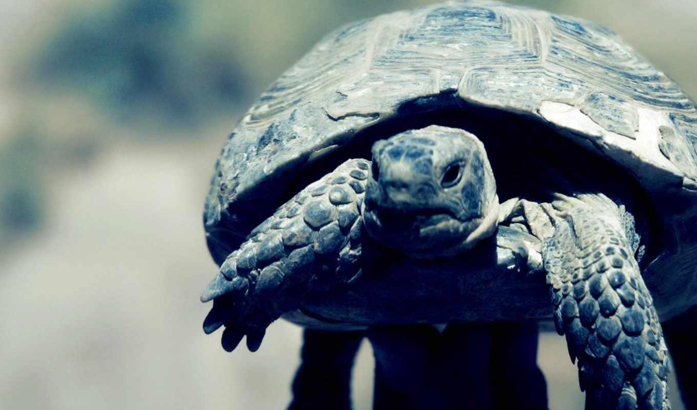 черепаха, лапы, панцирь, голова, животные,