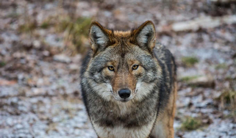 зарегистрируйтесь, чтобы, войдите, связаться, найти, coyote, других,