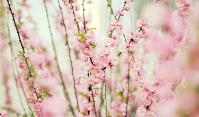 розовый, нежно, цветы,