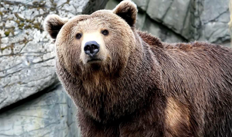 медведь, морда, лапа, когти, большой, медведя, волк, взгляд, браун,