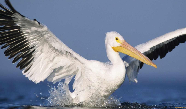 zu, birds, pelican,