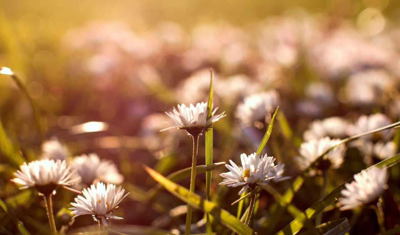 цветы, ромашки, природа, поляна, белые, янв, бутоны,