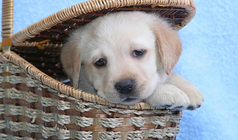 labrador, собака, взгляд, щенок, трава, лабрадора, морда,
