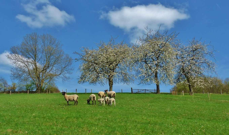 zhivotnye, овцы, качественные,