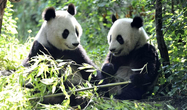 панда, zhivotnye, animal, их, добавлено, обоях, медведь, стебли,