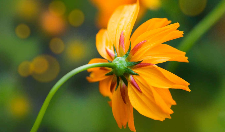 фон, powerpoint, free, daisy, оранжевый, yellow,