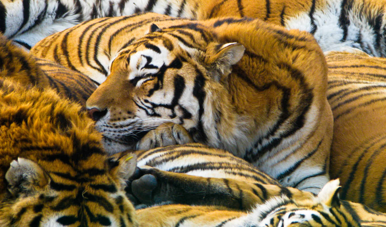 tigers, sleeping, free, this, desktop,