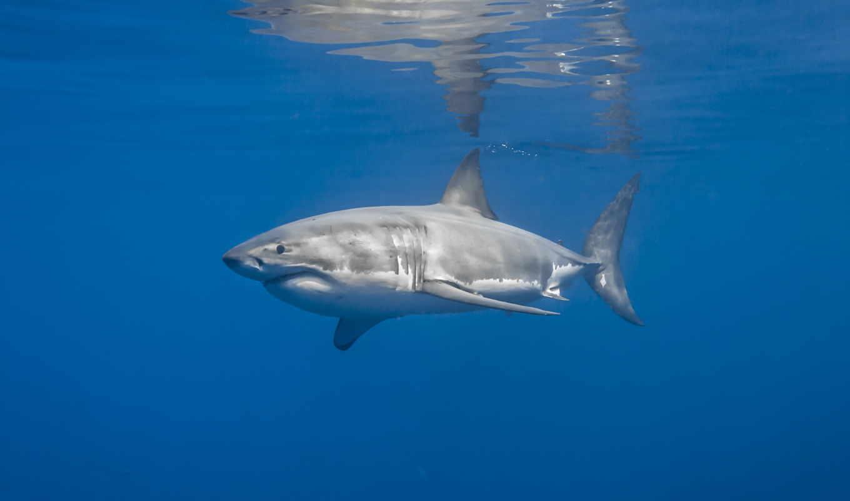 стена, decal, акула, diving, акулы, пловец,