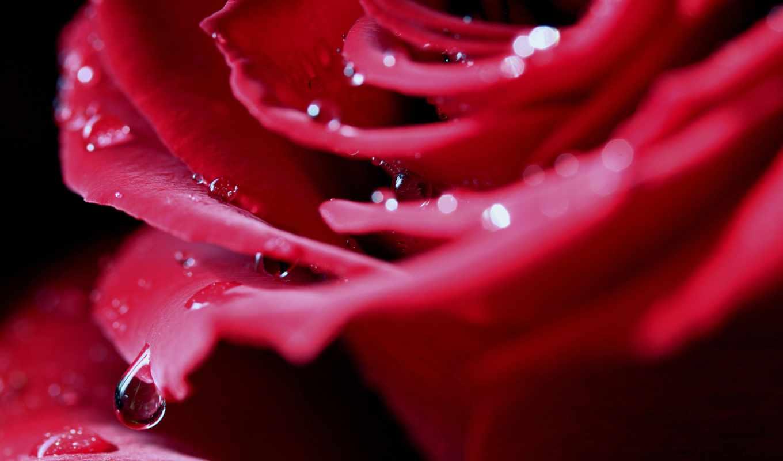 лепестки, капли, макро, красная, бутон, капля, роса, цветы, вода, розы,