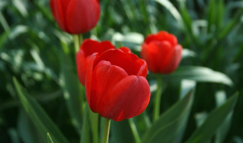 весна, тюльпаны, растения, цветы, картинка,
