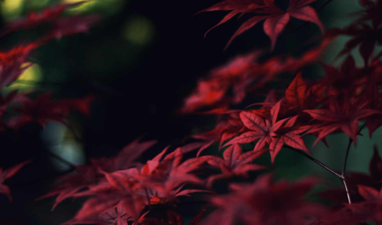 листья, красные, осень, ветки, клен,