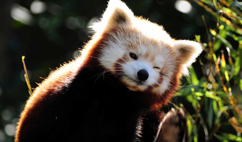 панда, красная, кошка,