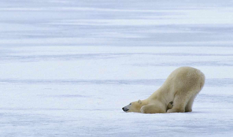 снег, голову, разных, положил, медведь, white, winter, разрешениях, play,