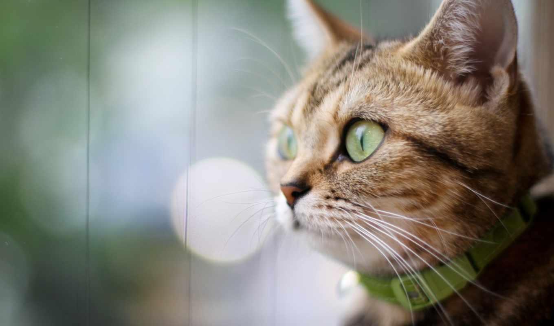 взгляд, нравится, свет, серый, кот, смотрит, сторону, ошейник, манул,