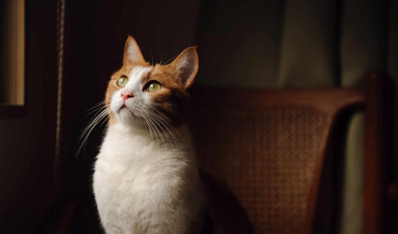 кот, red, глаза, зеленые, бело, взгляд,