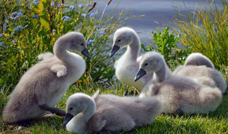 фона, фотографии, красивые, дек, лебедями, монитора,