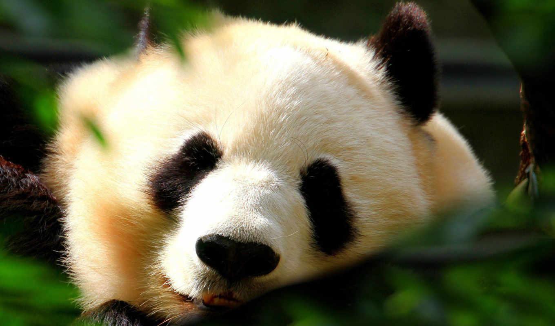 art, стена, сайте, картинок, beijing, панда, морда, pandas,