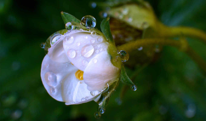 цветок, белый, капли, макро, роса,