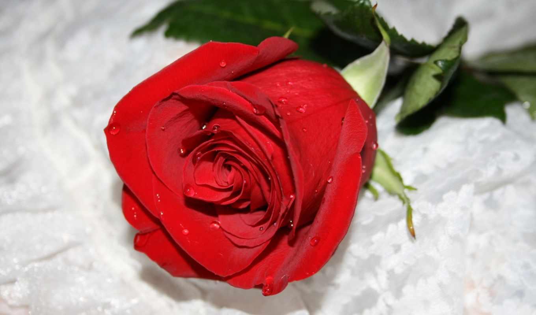 розы, цветы, роза,