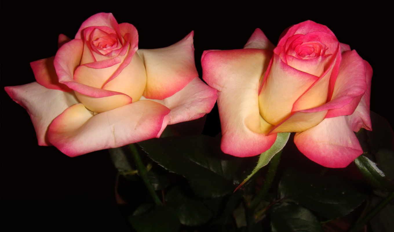 розы, цветы, розовый,
