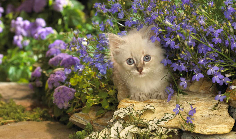 цветы, кот, котэ, котенок, февр, скалы, сиреневые, картинка,
