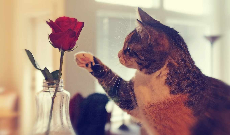 кот, лапа, роза, ваза, цветы,