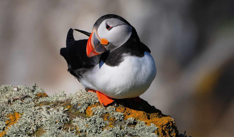 море, птица, попугай, тупик, период, атлантического, птицы, arctica, размножения, атлантический,