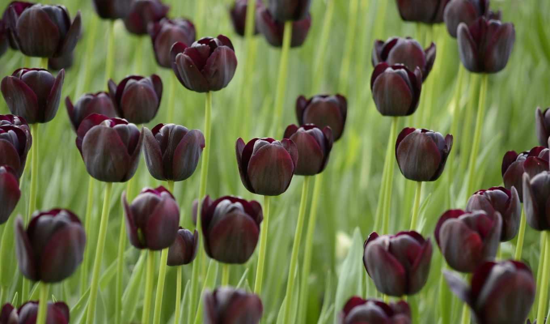 тюльпаны, tulips, цветы, тюльпан, тёмные, поле, тюльпанов, black, cvety, flowers,