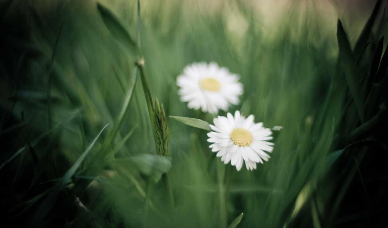 ромашки, цветы, скачиваний, color, flor, добавил, лепестки, красивых, подборка, девушек, зелёный,