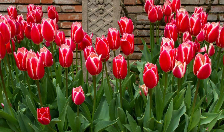 цветы, тюльпаны, много, flores, tulipas, букеты,