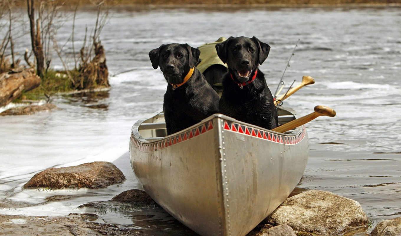 собаки, лодке, собака, labrador, санкт, лодка, рейтинг, морда, нравится, pair,